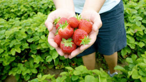Little fusspot strawberry picking – sensory excursion